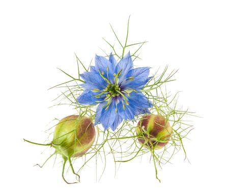 nigella flower with pods isolated on white Zdjęcie Seryjne