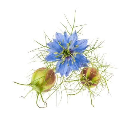 nigella flower with pods isolated on white Stock fotó