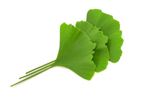 Ginkgo biloba leaves isolated on white background Фото со стока