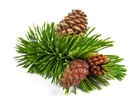 Mugo pine branch with cones isolated on white background