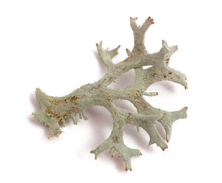 Cetraria islandica (iceland moss) isolated on white background