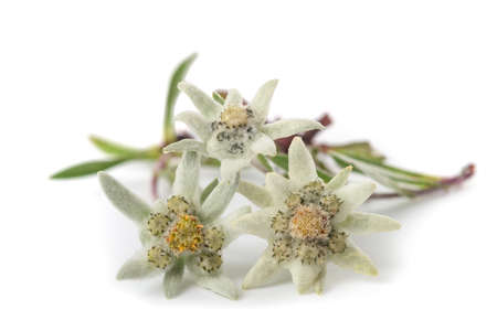 Edelweiss folwers isolated on white background