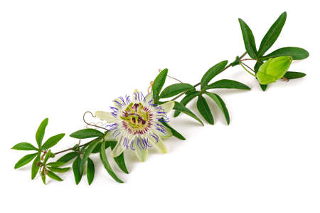 Passiflora branch with flower isolated on white background.