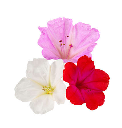 Four o'clock flowers isolated on white background