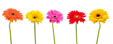 Gerbera flowers group isolated on white background