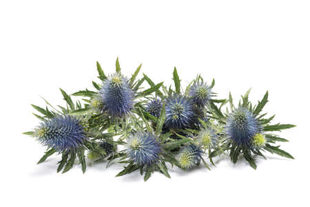 Sea holly thistles isolated on white background 免版税图像
