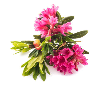 Rhododendron ferrugineum, rusty leaved alpenrose isolated on white background