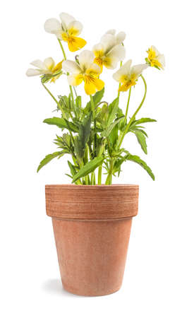 Pansy flowers plant in vase isolated on white background