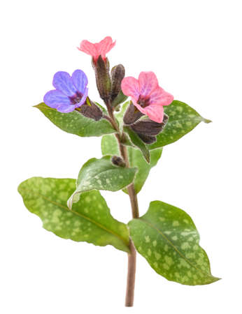 Common lungwort (Pulmonaria officinalis) isolated on white