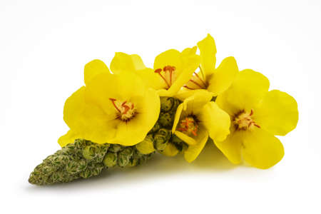 Mullein flowers isolated on white background