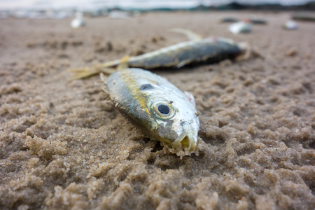 dead animal: Fish dead on the beach from pollution Stock Photo