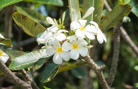 plumerias: White Plumeria flower