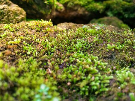 The close up of fresh moss with sunlight 版權商用圖片 - 81455413