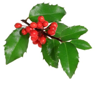Holly branch with berries, isolated. ( Ilex aquifolium )
