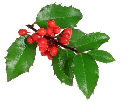 hulst: Holly tak met bessen, geïsoleerd. (Ilex aquifolium)