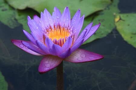 water lilly: Closeup of a purple Water lily in a pond. Stock Photo