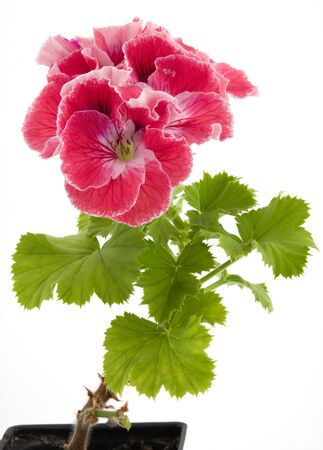 Potted Pelargonium Фото со стока