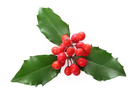 Ilex aquifolium - Holly leaves and berries isolated.