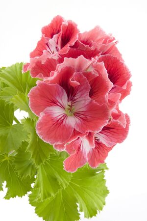 Close-up of a Pelargonium flower.