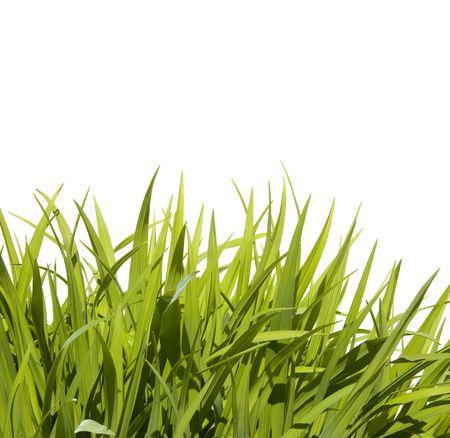 Hoog gras, geïsoleerd