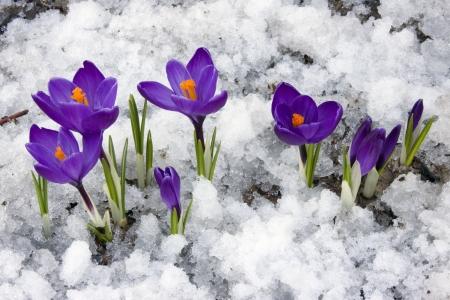 krokus: Lente: Crocus bloemen bloeien door de smeltende sneeuw.