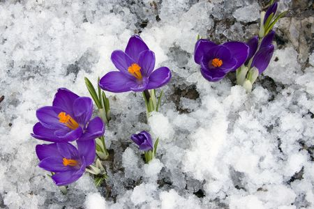 Spring : Crocus flowers blooming through the melting snow.