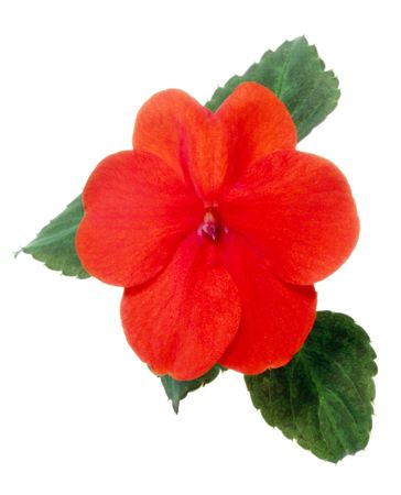 Red impatiens flower isolated on white.