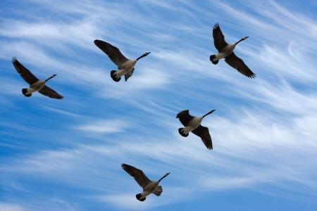 Bandada de gansos en Canadá V formación durante la migración de primavera, en una silueta contra el cielo nublado.