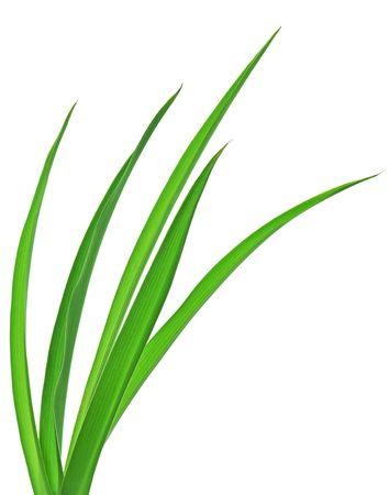 長い草のブレードは、白い背景で隔離のマクロ。 写真素材