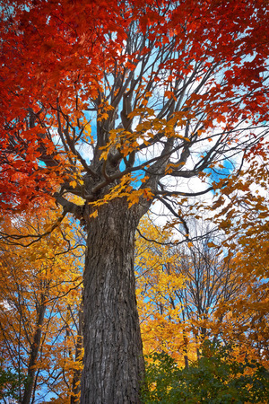 Big red maple tree in autumn