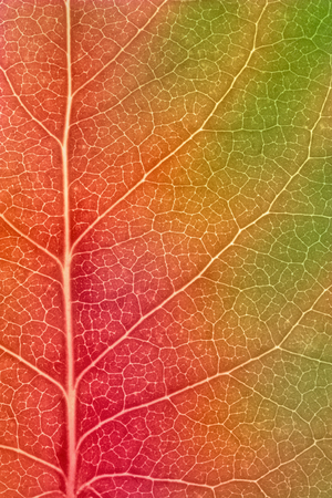 Maple leaf changing colors in autumn - macro