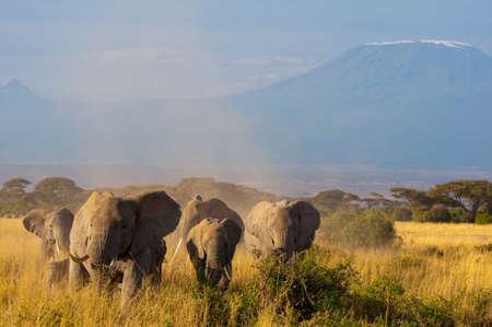 kilimanjaro: Elephants in Front of Kilimanjaro
