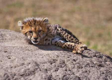 Cheetah Cub on the Rock photo