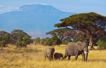 elefante: Familia de elefantes en frente del Kilimanjaro Foto de archivo