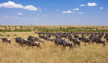 migration: Great Migration, Masai Mara, Kenya