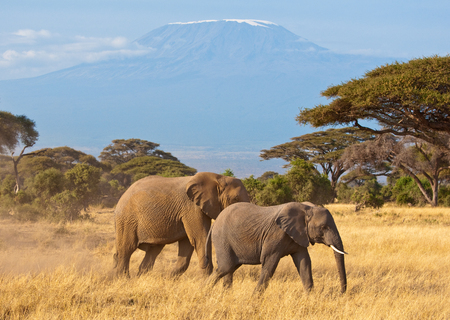 Elephants in Front of Kilimanjaro Stock Photo - 29901945