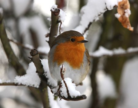 Robin in de winter  Stockfoto