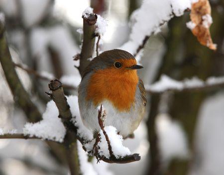 christmas robin: Robin in winter