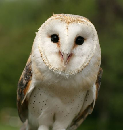 Inquisitive Barn Owl