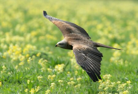 Black Kite flying over wild flower meadow Stock Photo - 4363037