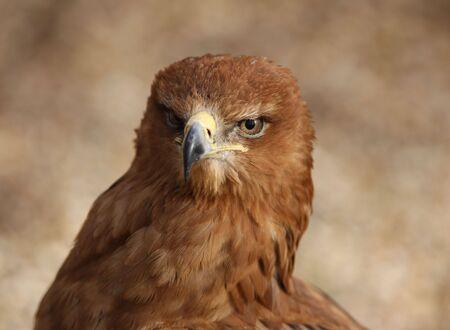 tawny: Tawny Eagle