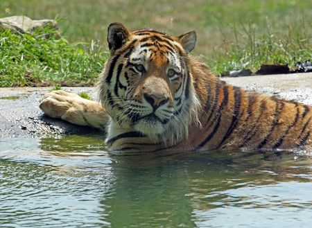 Bengal Tiger Bathing in a shallow pool