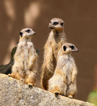 Meerkats Фото со стока - 4656571