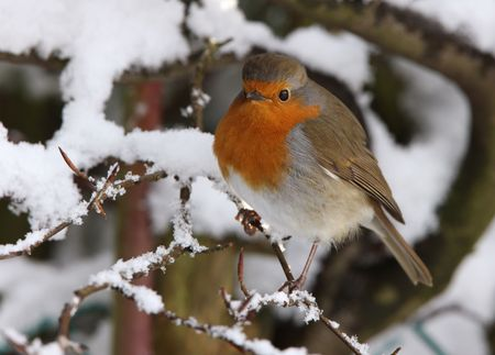 Robin in de winter