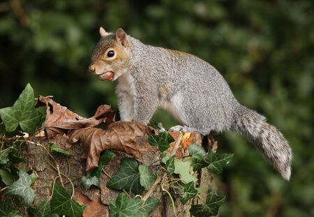 Grey Squirrel photo