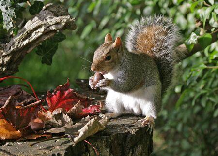 Grey Squirrel in Autumn Stock Photo - 4656580