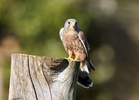 Peregrine Falcon Stock Photo - 4656596