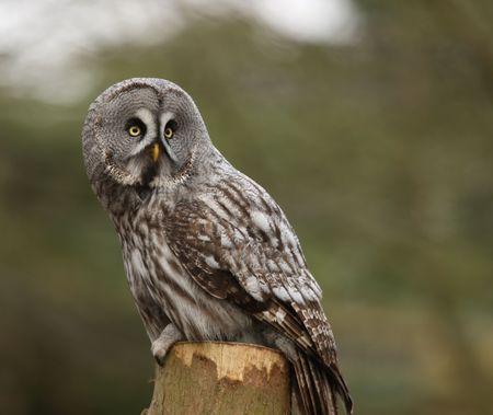 Portrait of a Great Grey Owl Stock Photo - 4656600