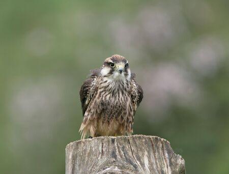 lanner: Lanner Falcon preparing for flight