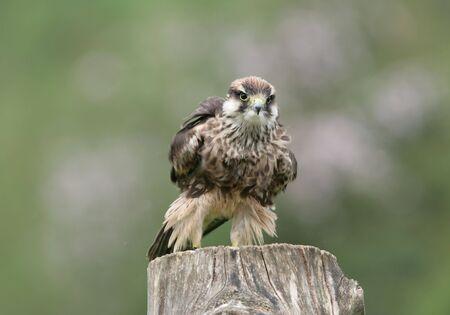 Lanner Falcon preparing for flight